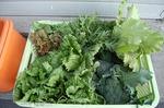 011収穫野菜.jpg